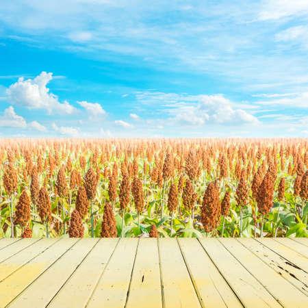 sorgo: sorghum field
