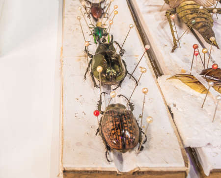 taxonomy: image of Collection of beetle butterfly wasps and insects with pin.