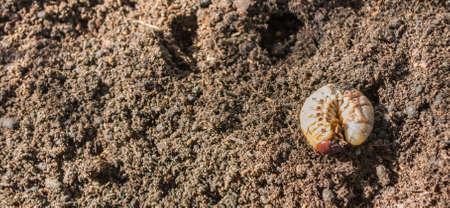 ground beetle: image of rhinoceros beetle larva on the ground.