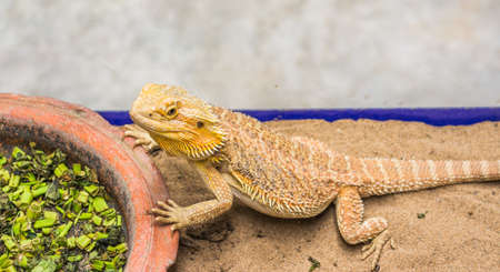 cast off: image of Bearded Dragon (Pogona vitticeps) on sand Stock Photo