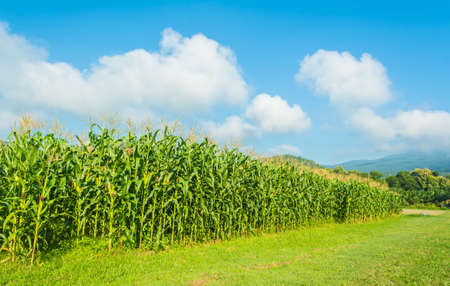 image of corn field and blue sky background.