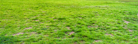thick growth: image of green grass field on morning time for background usage.