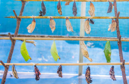pupa: image of Butterfly Pupa hang on wooden stick. Stock Photo