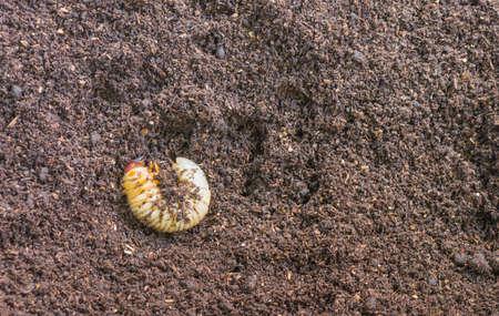 ground beetle: image of rhinoceros beetle larva on the ground .