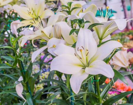 white lilly: image of white lilly flower in the garden on day time for background.