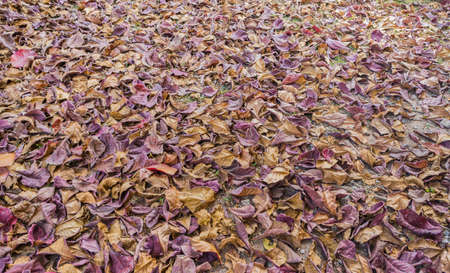 tannins: image of dry tropical almond leaf on the ground for background texture usage.