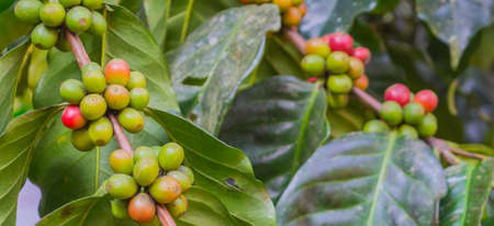 image of ripe coffee bean on day time. Stock Photo