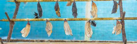 lifecycle: imagen de la mariposa Pupa colgar en el palillo de madera.
