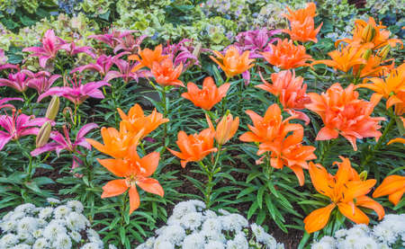 image of colorful lilly flower in the garden on day time for background.