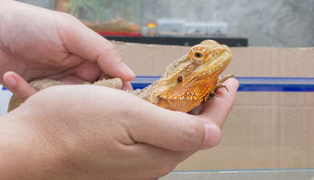 image of hand hold yellow Bearded Dragon .
