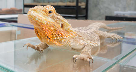 cast off: image of Bearded Dragon (Pogona vitticeps) on glass.