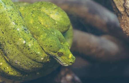 close up image of  green tree python on tree. Stock Photo