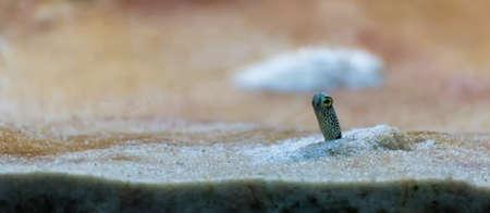 image of garden eel in aquarium tank. Stock Photo