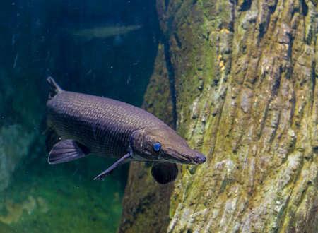 image of Alligator gar fish in aquarium tank.