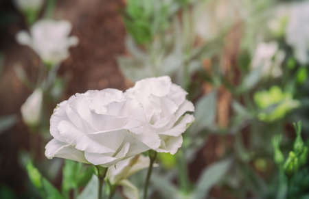 image of white lisianthus flower bed on day time.
