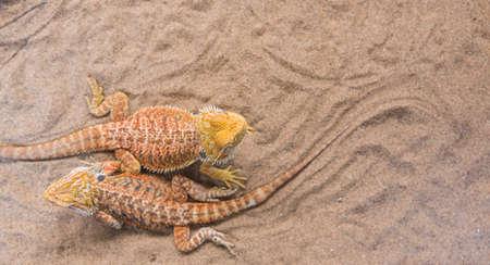 cast off: image of Bearded Dragon (Pogona vitticeps) on sand.