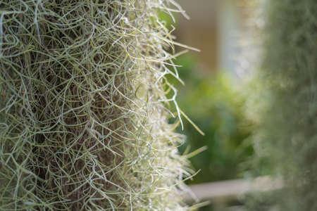 close up shot image of  tillandsia plant for background usage. Stock Photo