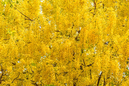 Image of golden shower flower trees (Cassia fistula). Stock Photo