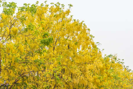 Image of golden shower flower trees (Cassia fistula) Stock Photo
