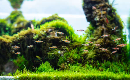 aquatic plant tank made with dragon stone arrangement on soil substrate with plant (Hemianthus callitrichoides cuba) and dwarf rasbora fish. Stock Photo