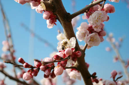 Close up shot of a bee on a beautiful blossoming apricot tree Stock Photo - 2641620