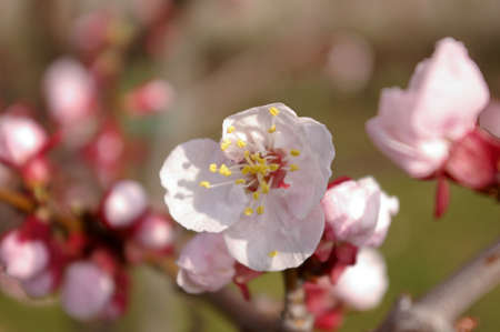 Close up of a blossoming apricot tree Stock Photo - 2641621