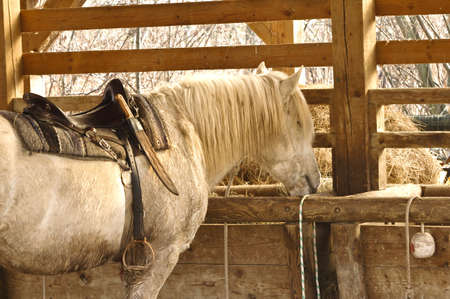 White horse eating at the stables photo