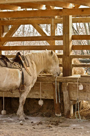 nonviolent: White horse eating at the stables