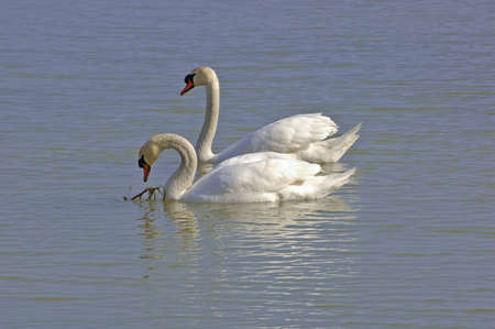 Picture showing two white swans swimming together in a lake Stock Photo - 2641645