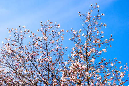 A beautiful, colorful blooming tree with a nice blue sky background. Stock Photo - 2743480