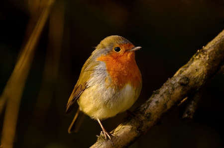 rubecula: Close up of a Robin bird sitting on a branch - Erithacus rubecula