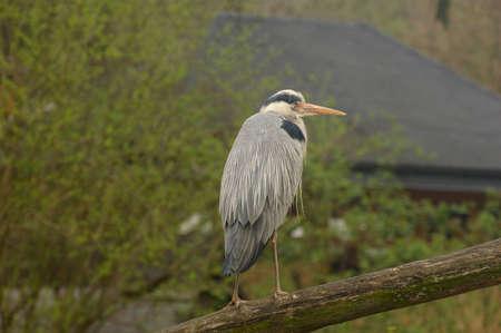 Blue heron bird perching on a log. Stock Photo - 2861378