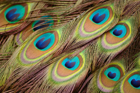 tail fan: Close up picture of peacock feathers. Stock Photo