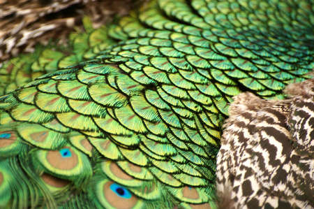 Picture of a beautiful male peacock with colorful tail on display. photo