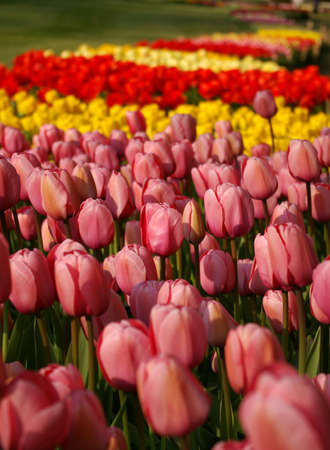 Sea of pink, yellow and red tulips photo