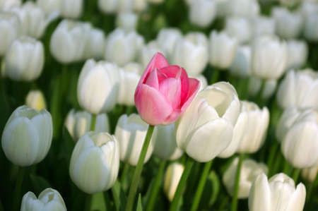 l natural: Sea of white tulips with a pink one among them Stock Photo