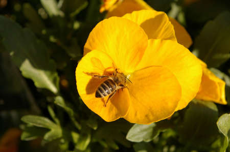 Close up shot of bee collecting pollen on a pansy. photo