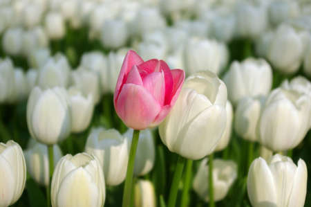 Sea of white tulips with a pink one among them Stock Photo