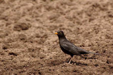 perching: Blackbird perching on brown soil.