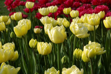 Sea of yellow and red tulips photo