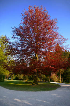 A beautiful deep red tree with blue sky background Stock Photo - 3129250