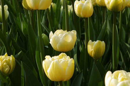 l natural: Sea of yellow and red tulips Stock Photo
