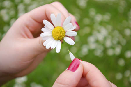 loves: A girl playing He loves me, he loves me not by tearing off petals of a daisy