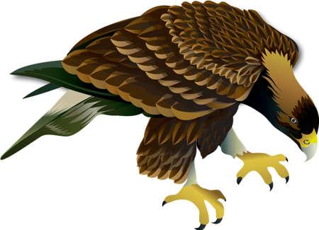 Hawks birds on white background