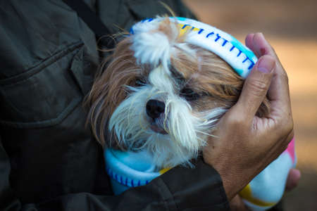 dog small white Shih tzu in hand