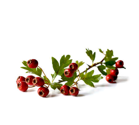 Studio macro of a stem of fresh autumnal Hawthorn berries with soft shadows. Copy space.