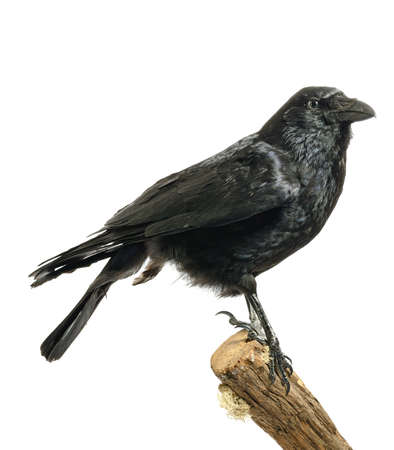 Studio image of an adult Carrion Crow (Corvus corone) perched on a wooden stump against a white background. Copy space. photo