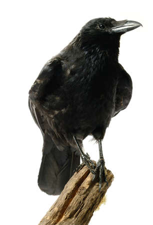 Studio image of a juvenile Carrion Crow (Corvus corone) perched on a wooden stump against a white background. Copy space. photo