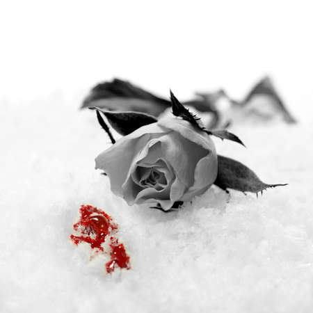 A studio created concept depicting a broken heart. A greyscale red rose lying in the snow with spilled red blood. Copy space. Standard-Bild