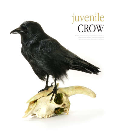 Studio image of a juvenile Crow (Corvus corone) perched on a goats skull  against a white background. Copy space. photo